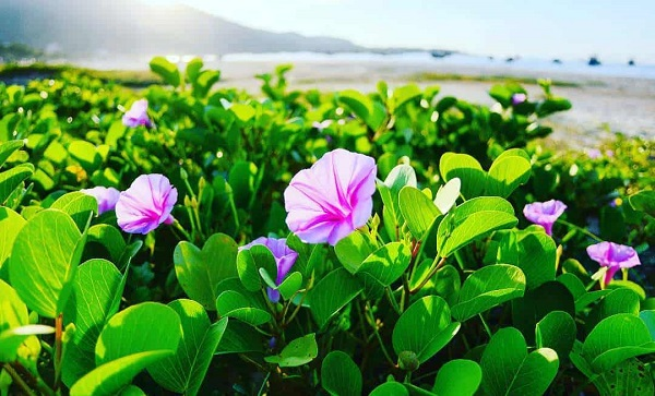 rau muống biển có tác dụng chữa bệnh trĩ