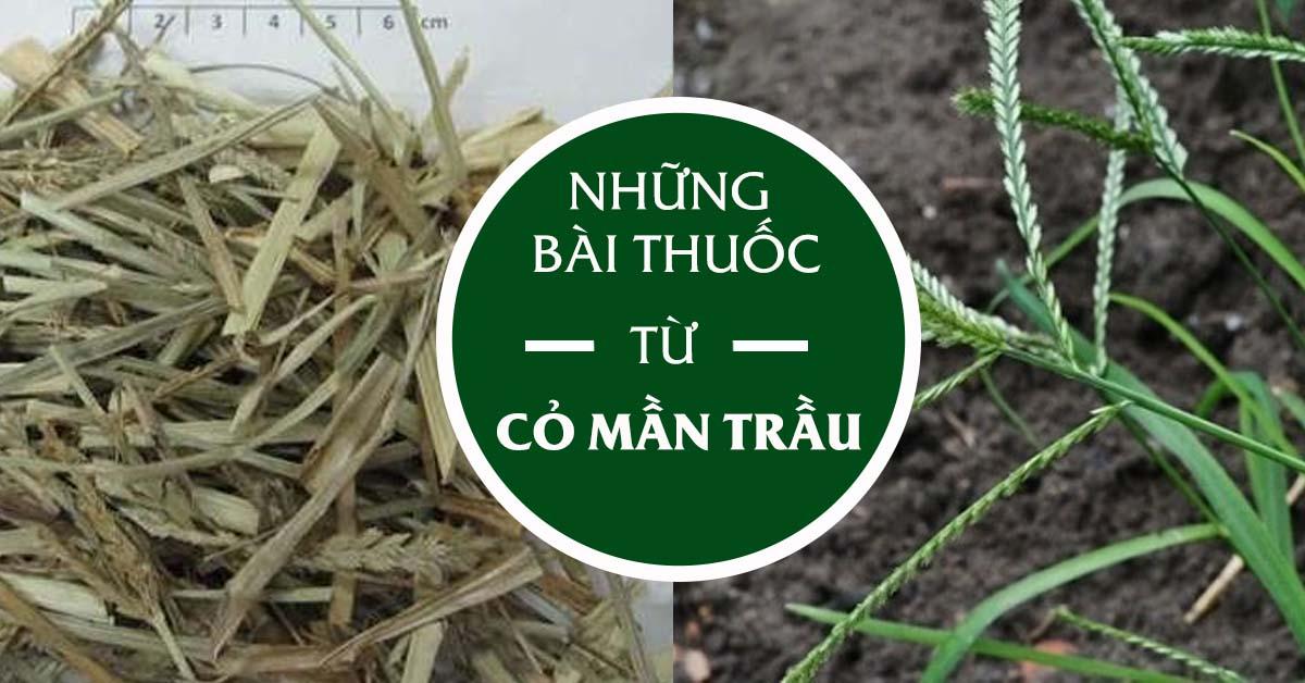 cỏ mần trầu chữa bệnh trĩ